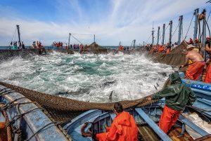 Almadraba pesca del atún rojo