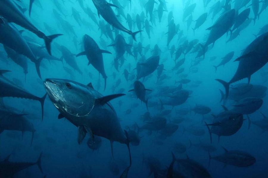 banco de atunes rojos