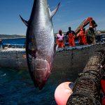 ¿Es saludable el consumo de atún de almadraba?