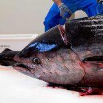La cabeza del atún, una paleta de sensaciones