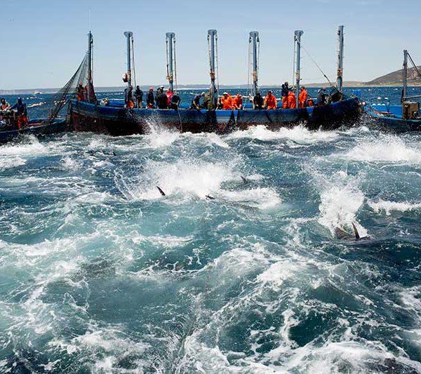 almadraba de zahara de los atunes