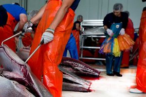 japoneses ronqueo del atún rojo