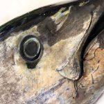 Cómo diferenciar el atún rojo de otros túnidos