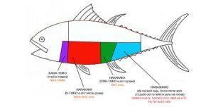 anatomía del atún rojo